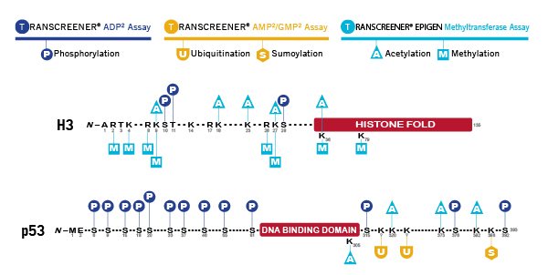 Screening with Transcreener Assays - p53 and H3 examples