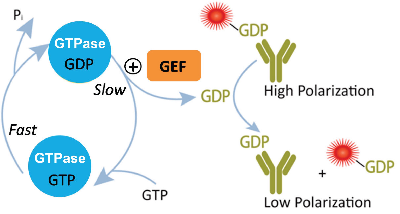 GTPase Assay Principle
