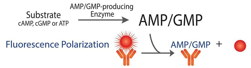Transcreener AMP Ectonucleotidase Assay Principle