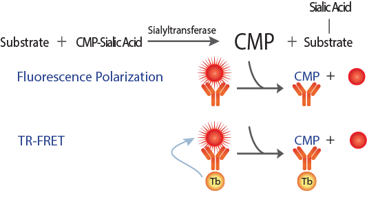 Sialyltransferase Assay Schematic