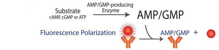 Phosphodiesterase Assay Kit Schematic AMP GMP Assay FP