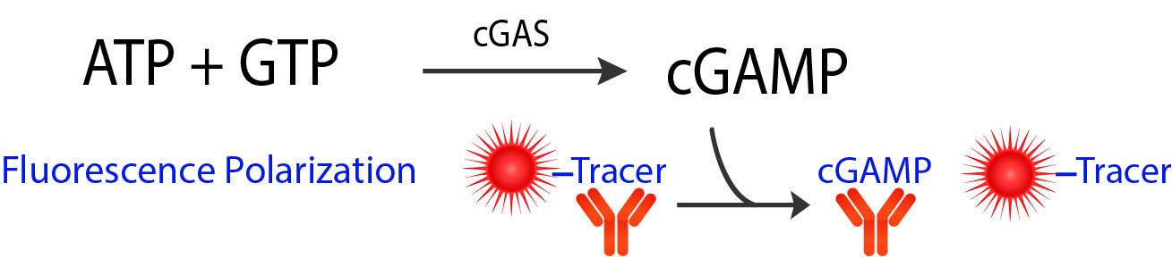 cGAS Assay Schematic FP