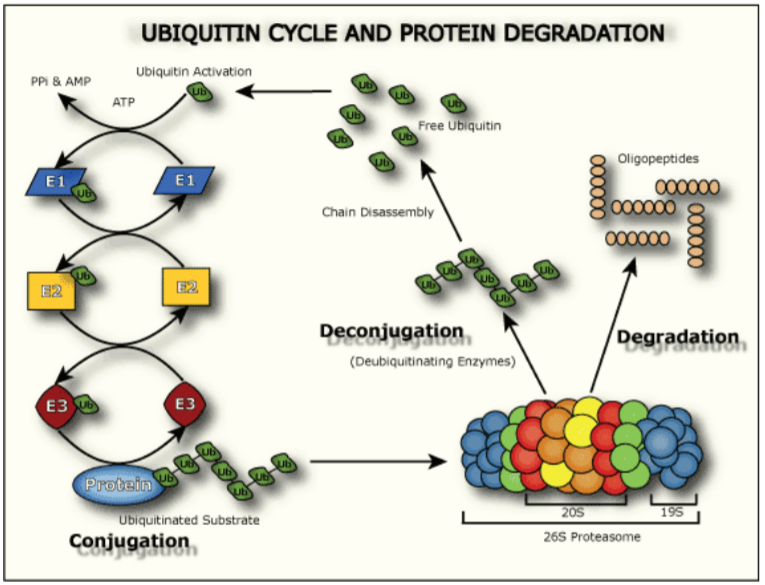 Ubiquitin Cycle and Protein Degradation
