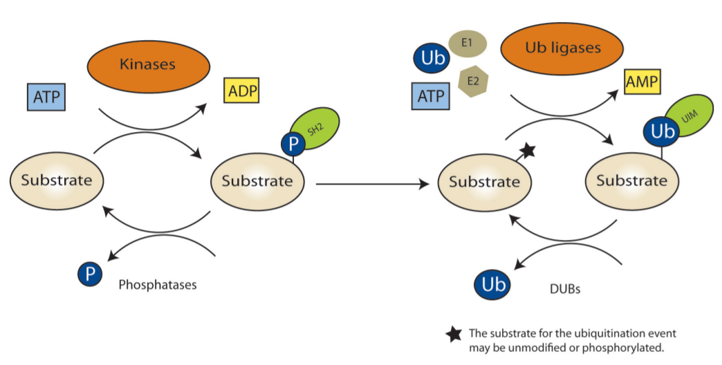 Ubiquitin Ligase Cascade