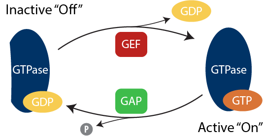 GTPase Activity Assay On Off Cycle