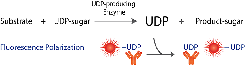 Transcreener UDP Glycosyltransferase Assay FP Readout