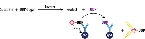 UDP FI Glycosyltransferase Assay Schematic