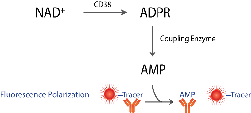 Transcreener CD38 Assay Schematic